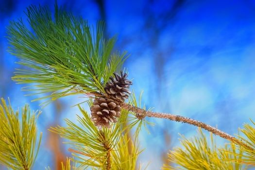 branch, Cones, needles, pine