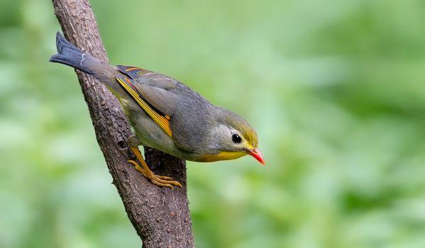 Красный воробьиный, Leiothrix, птица, ветка