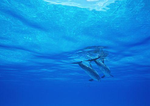 dolphin, DOLPHINS, sea, Mammals
