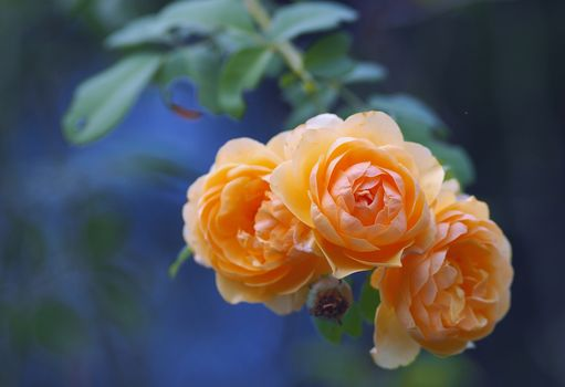 Roses, BUDS, branch, bokeh