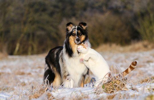 Collie, dog, COTE, cat, friendship, love