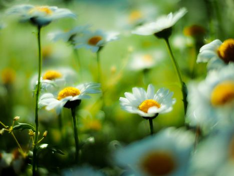 field, Chamomile, Flowers, Macro