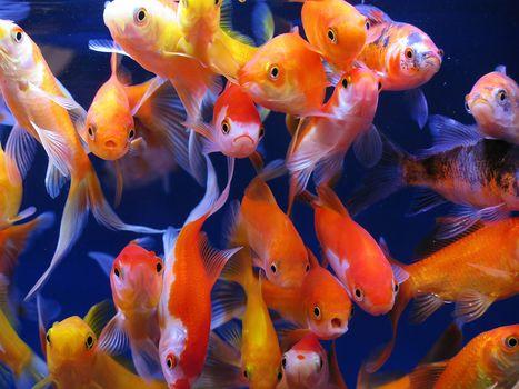 aquarium fish, aquarium, goldfish