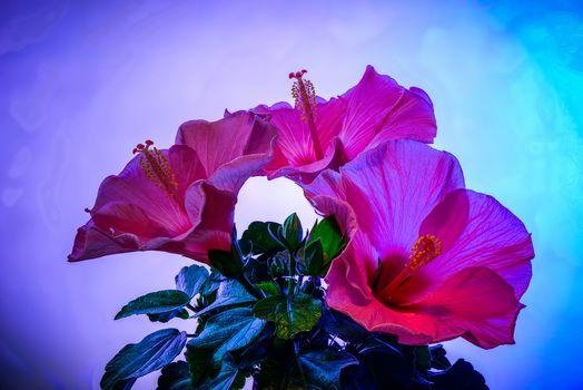 Hibiscus, flower, flora