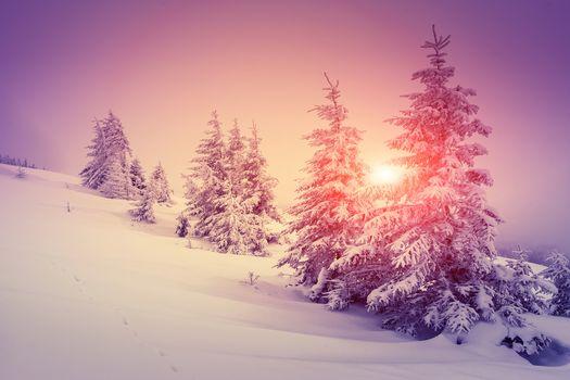 winter, snow, drifts, spruce, sunset