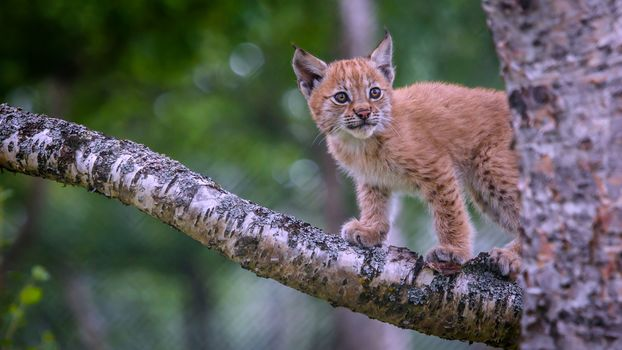 lynx, Lynx, rysyata, rysenok, cat, cat, wildcats, nature, animals
