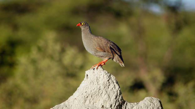 Africa, African animals, photo-sketchings naturalist, birdie, bird, her to sit on a rock