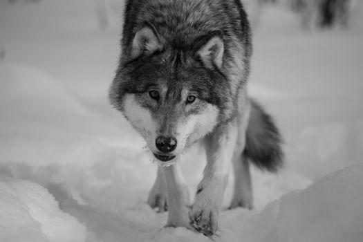 wolf, Wolves, animals, winter, portrait