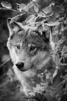 wolf, Wolves, animals, portrait