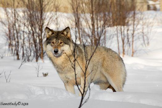 wolf, Wolves, animals, winter