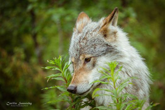 wolf, Wolves, animals, summer