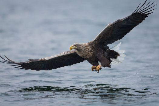 eagle, predator, bird