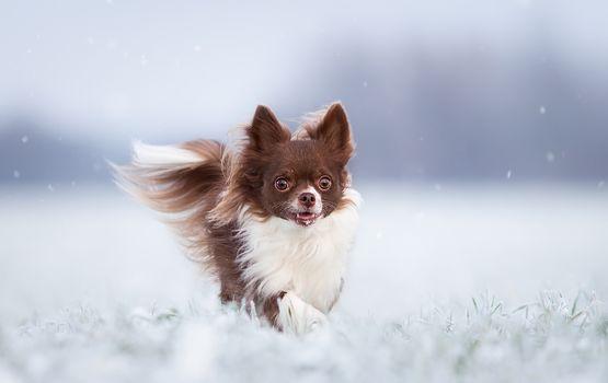 Chihuahua, dog, winter