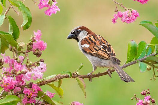sparrow, bird, branch, flowers