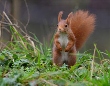 squirrel, Redhead, rack, grass