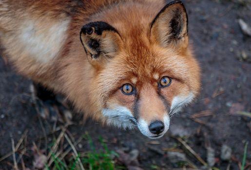 fox, fox, Redhead, view
