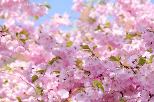 Flowers, flowering, COLOR, BRANCH, SPRING, fruit trees