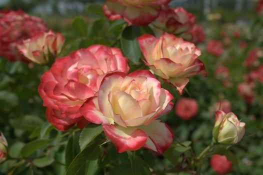 Flowers, flower, rose, Roses, garden, bush