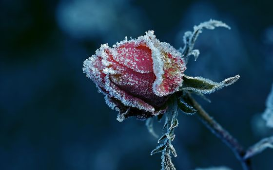 Flowers, flower, rose, Roses, frost