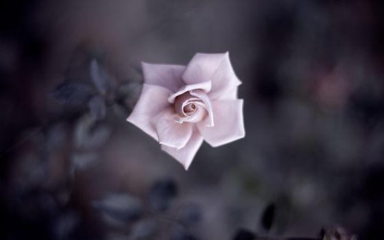 Flowers, flower, rose, Roses
