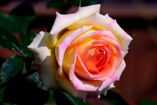 rose, Roses, Flowers, flora