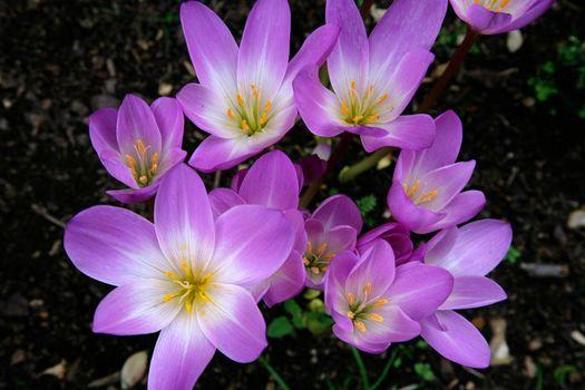 flower, Flowers, flora, Crocuses