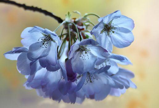 flower, Flowers, flora, cherry blossoms