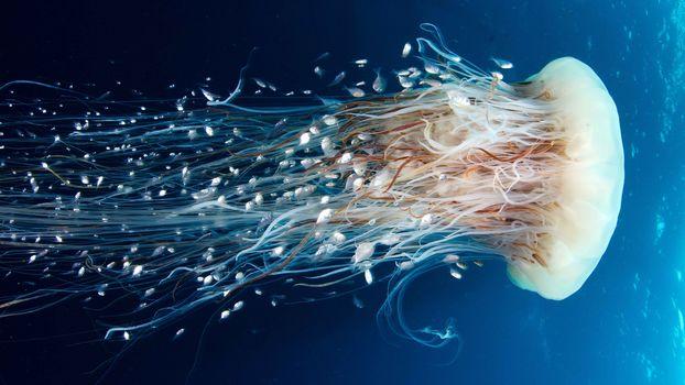 jellyfish, Jellyfish, Underwater World, water, sea, ocean, the inhabitants of the seas and oceans