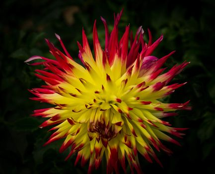 flower, Flowers, flora, dahlia
