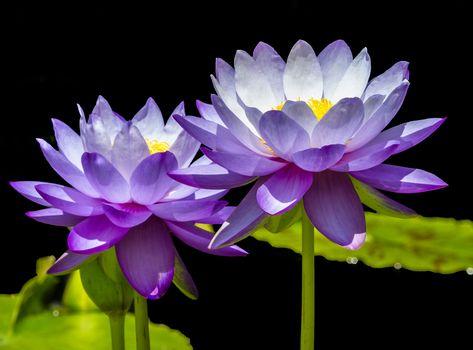lotus, flower, Flowers, flora