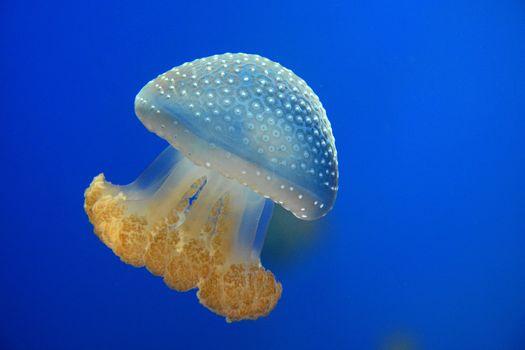 méduses, Jellyfish, Monde sous-marin, eau, mer, océan, les habitants des mers et des océans