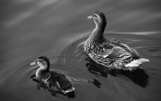 Ducks, Lake, water