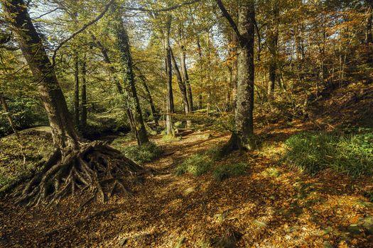 Kisenok рулит, лес, деревья, осень, природа