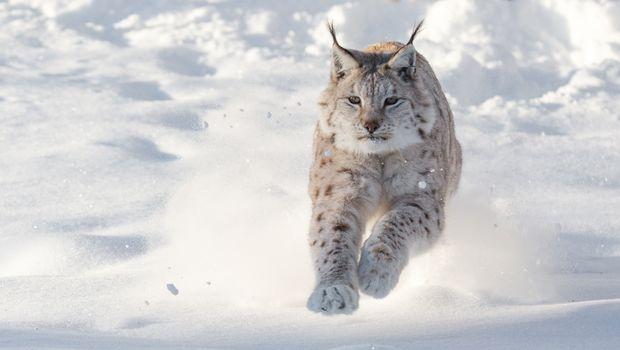 running, lynx, ordinary, eurasian lynx, norway