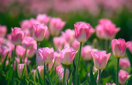 TULIPS, pink, BUDS