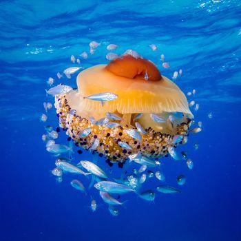 jellyfish Kotiloriza, Live jellyfish eggs, fish, jellyfish, Adriatic Sea, sea