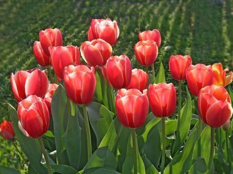 tulipanes rojos, TULIPANES, BROTES