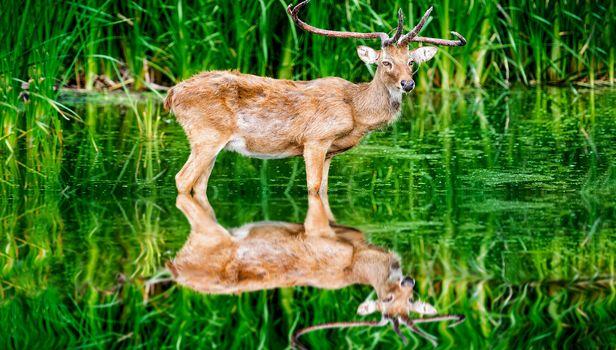 reflection, deer, green, cane, water