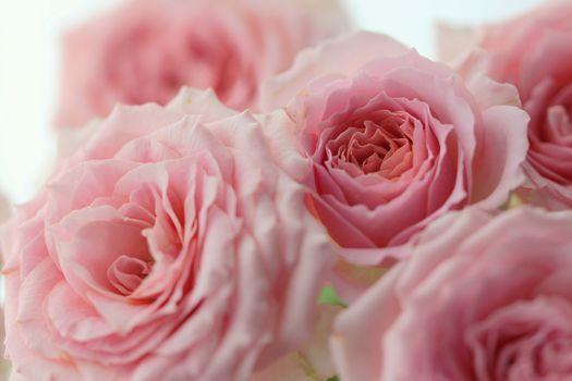 Roses, pink, BUDS, Macro