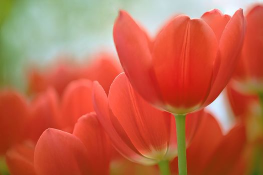 red tulips, TULIPS, BUDS, Petals
