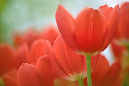 tulipanes rojos, TULIPANES, BROTES, Pétalos