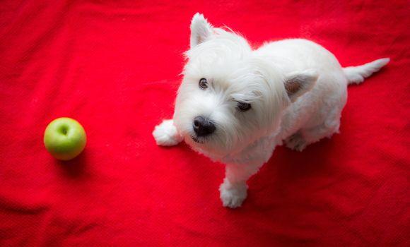 West Highland White Terrier, dog, sight, An Apple