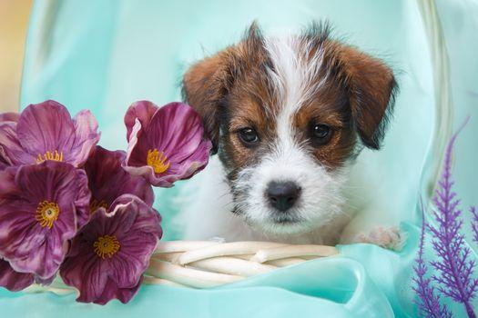 Jack Russell Terrier, perro, cachorro, mordashka, flores