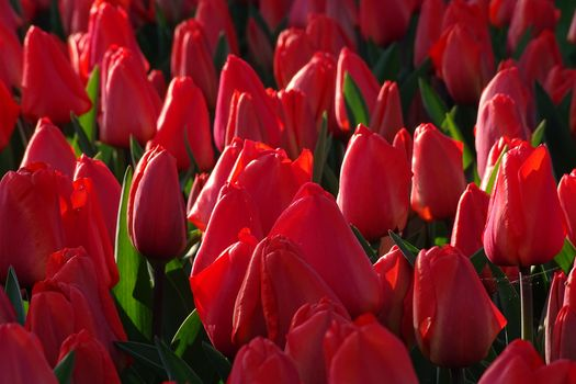 red tulips, tulips, buds, many