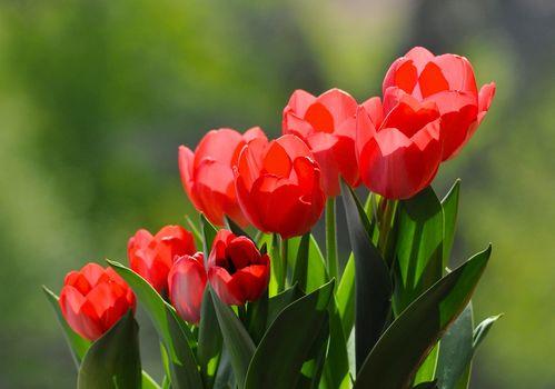 tulipanes rojos, tulipanes, fondo