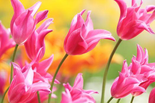 tulips, pink, buds, petals