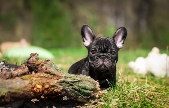 Bulldog francés, buldog, perro, cachorro