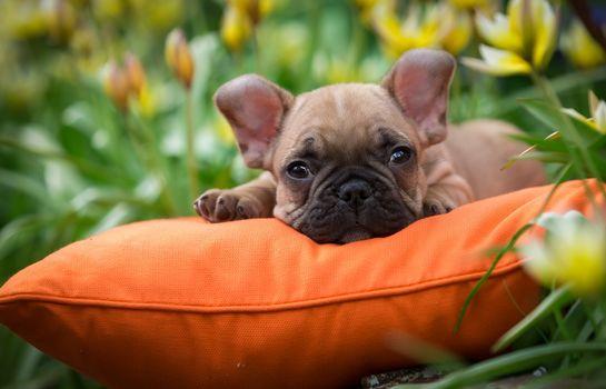 Bulldog francés, buldog, perro, cara de cachorro, vista, almohada