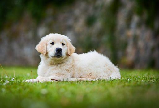 Golden Retriever, Golden Retriever, perro, cachorro, caderas
