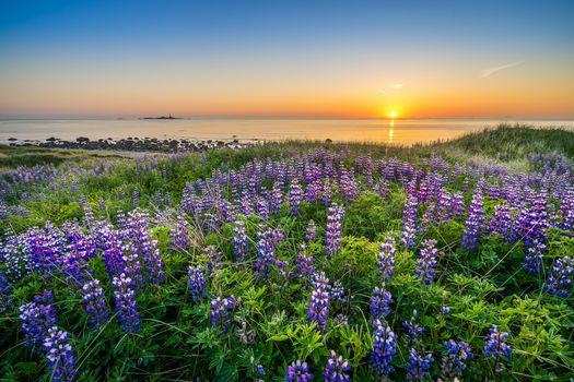 Rogaland, Norway, North Sea, Rogaland, Norway, North Sea, sea, sunset, coast, flowers, lupins